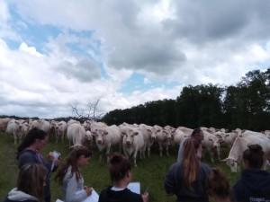 élevage bovin1