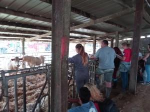 élevage bovin3